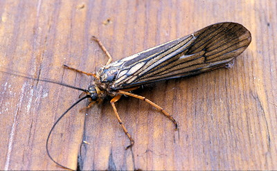 What is an October Caddis? Know Your Flyfishing Bug